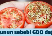 gdo_domates_filizlenmesi